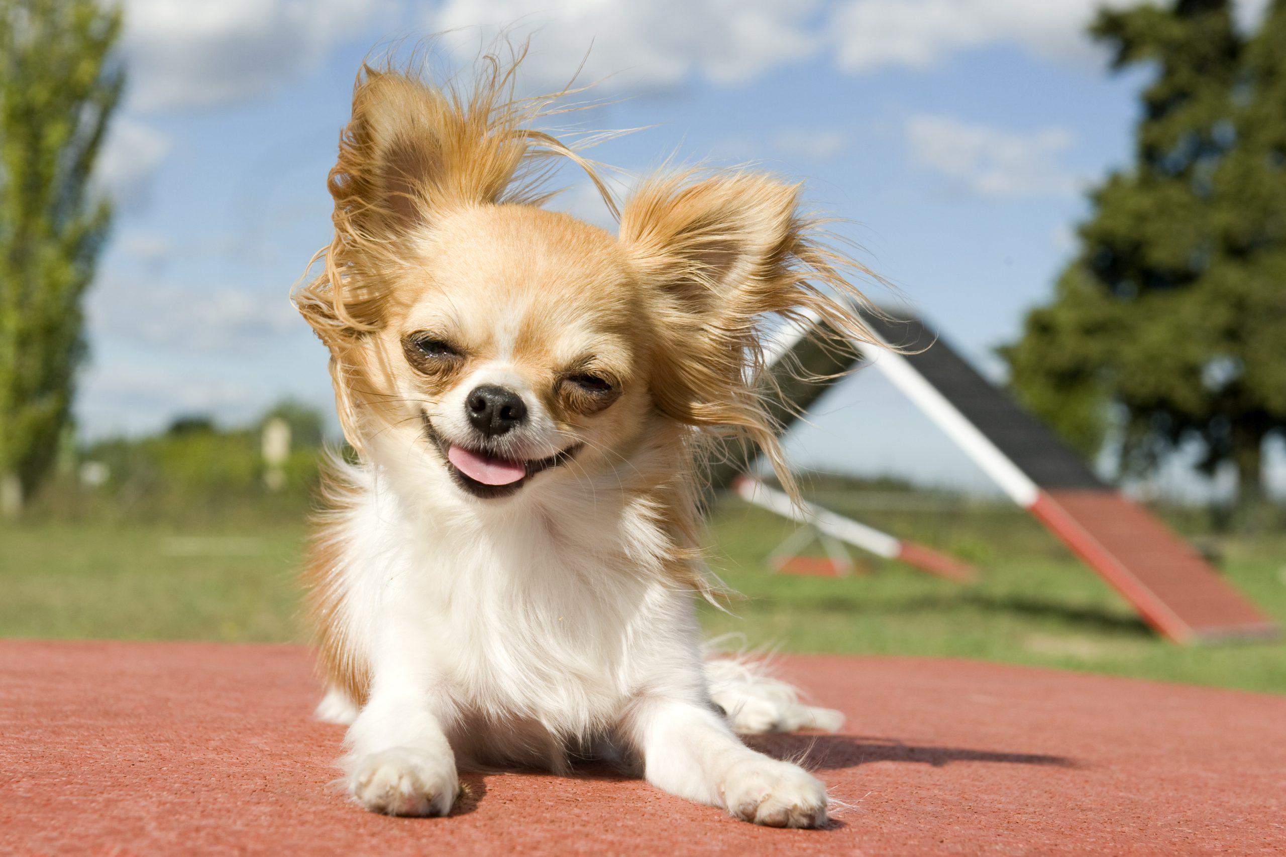 perros para departamentos chihuahua