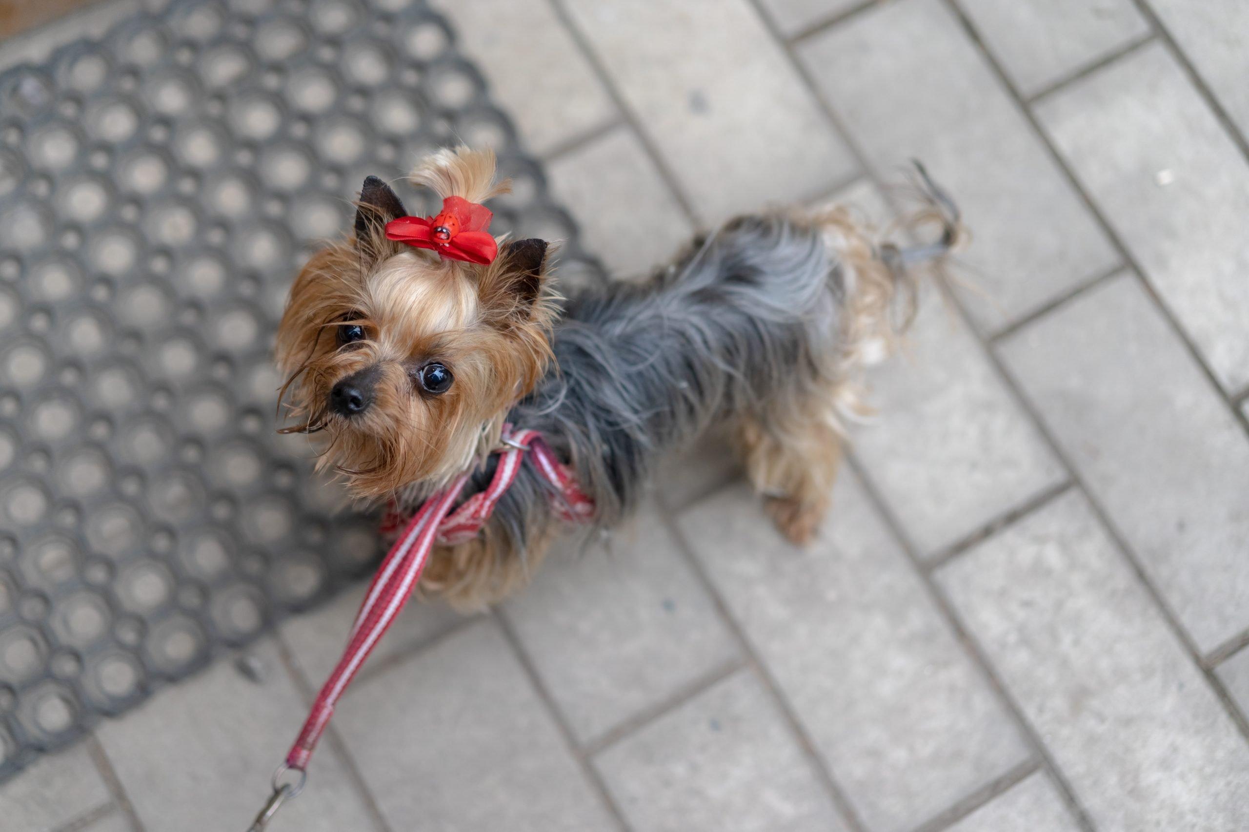 perros para departamentos yorkshire terrier